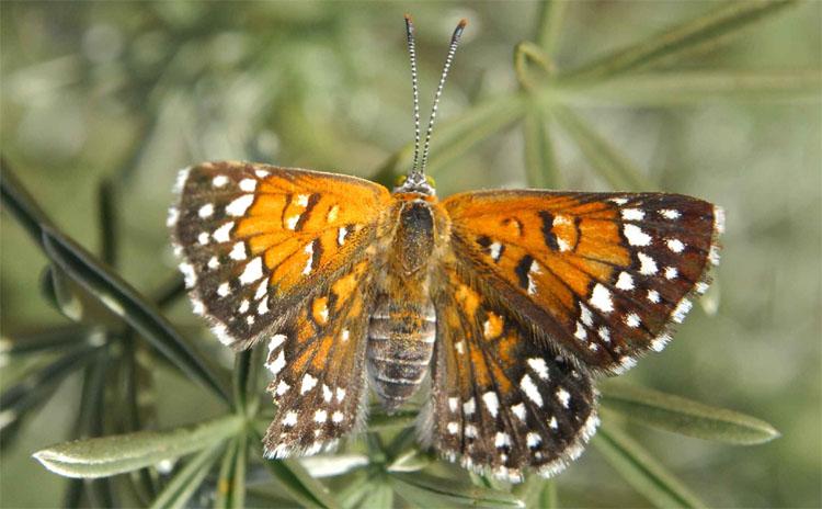 Lange's Metalmark Butterfly (Apodemia mormo langei)