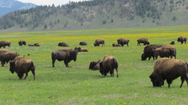 Buffalo, Yellowstone, Wyo., 2013