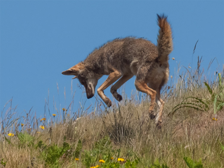 Coyote (Canis latrans). osservazione iNaturalist # 75201