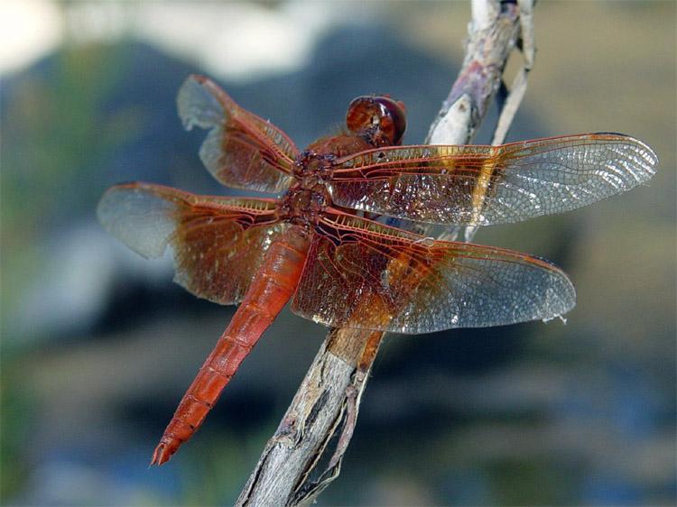 Dragonfly Flame Skimmer (Libellula saturata). Osservazione iNaturalist # 5360