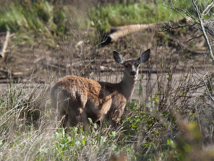 Cervo mulo (Odocoileus hemionus). osservazione iNaturalist # 61730