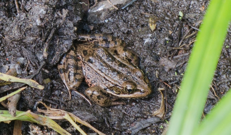 California Red-legged Frog (Rana draytonii)
