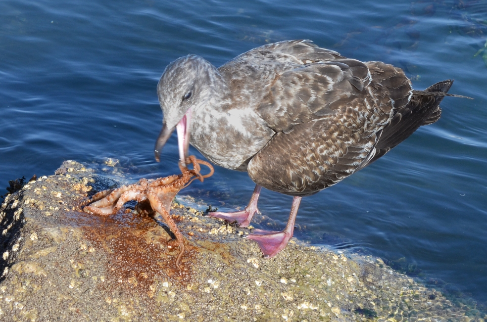 Western Seagull (larus occidentalis) capturing an octopus