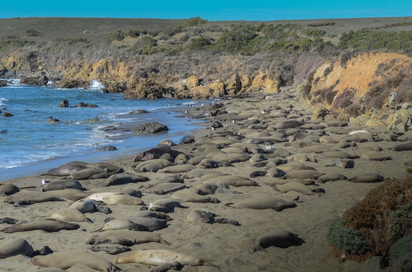 Piedras Blancas Beach covered by Elephant Seals