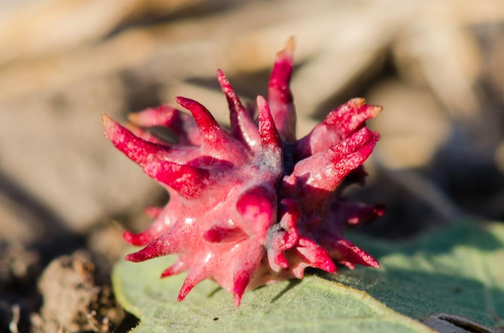 Galla su quercia indotta dalla vespa detta Urchin Gall Wasp (Antron quercusechinus). Galla comune in California.