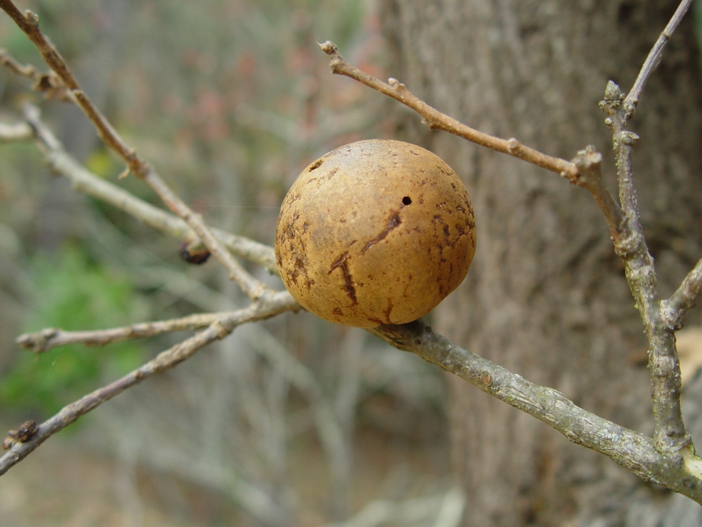 Oak Gall induced by a cynipid wasp (Andricus quercuscalifornicus)