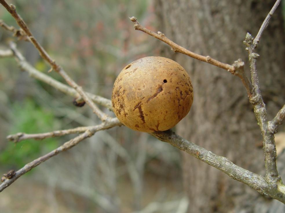 Comunissima galla di quercia indotta da una vespa appartenente alla superfamily Cynipoidea (Andricus quercuscalifornicus), osservata in California. Una curiosità  di questa vespa: non è mai stato osservato alcun esemplare maschile di questa specie. Potrebbe non esistere, gli scienziati stanno ancora indagando.