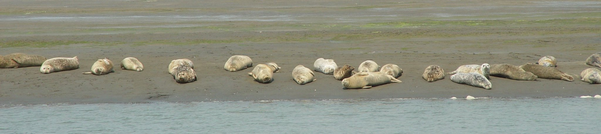 Seals on the beach (Phoca vitulina)