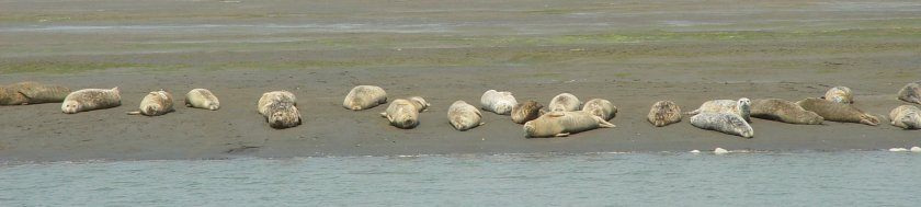 Seals on the beach (Phoca vitulina)