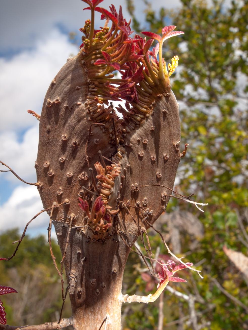 Particolare galla che sis sviluppa sui germogli di Poison Oak (Toxicodendron diversilobum), comune in California. Probabilmente indotta da un fungo o un batterio.