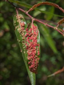 Galle indotte da un acaro detto Willow Gall Mite (Aculops tetanothrix) su una varietà californiana di salice, detto arroyo willow (Salix lasiolepis). Sia l'acaro che il salice sono comuni in California