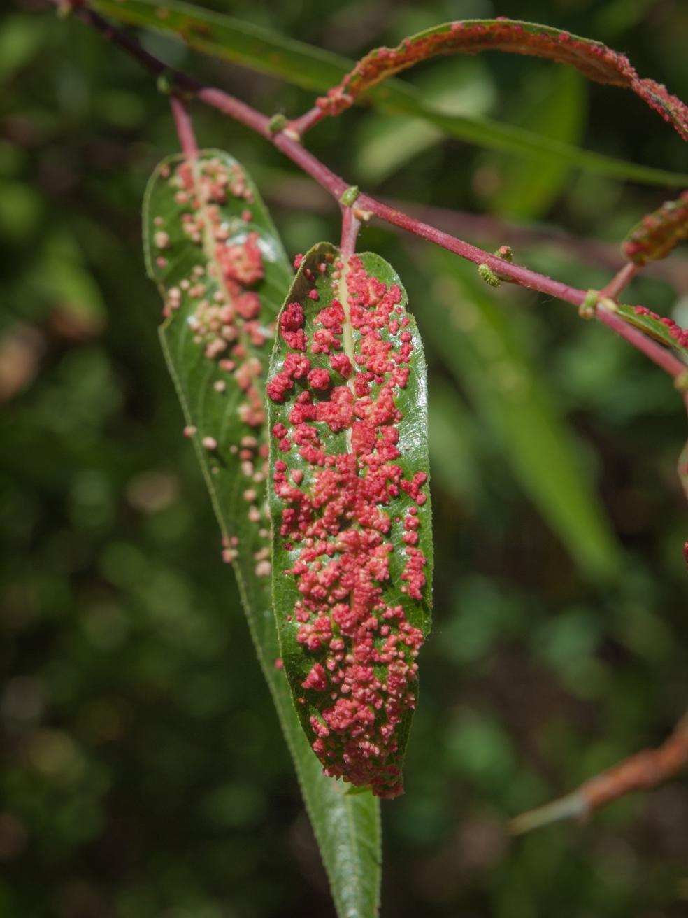 Galle indotte da un acaro detto Willow Gall Mite (Aculops tetanothrix) su una varietà locale di salice, detto arroyo willow (Salix lasiolepis). Sia l'acaro che il salice sono comuni in California.