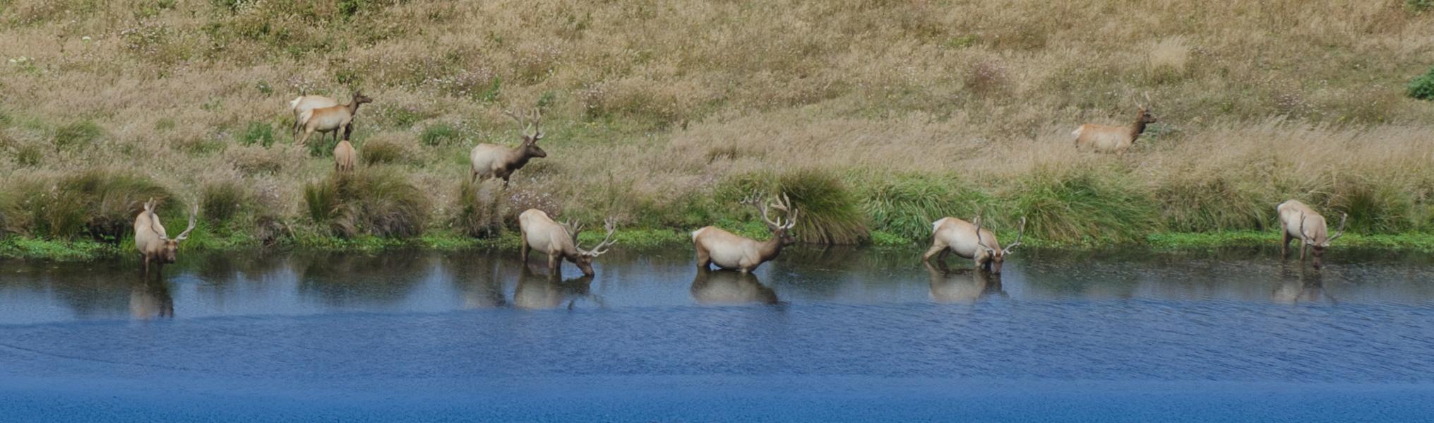 Tule elk (Cervus canadensis nannodes)