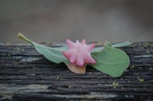 Galla detta Spined Turban Gall indotta su una quercia da una piccola vespa (Antron douglasii). Osservata a Lafayette e molto comune in California