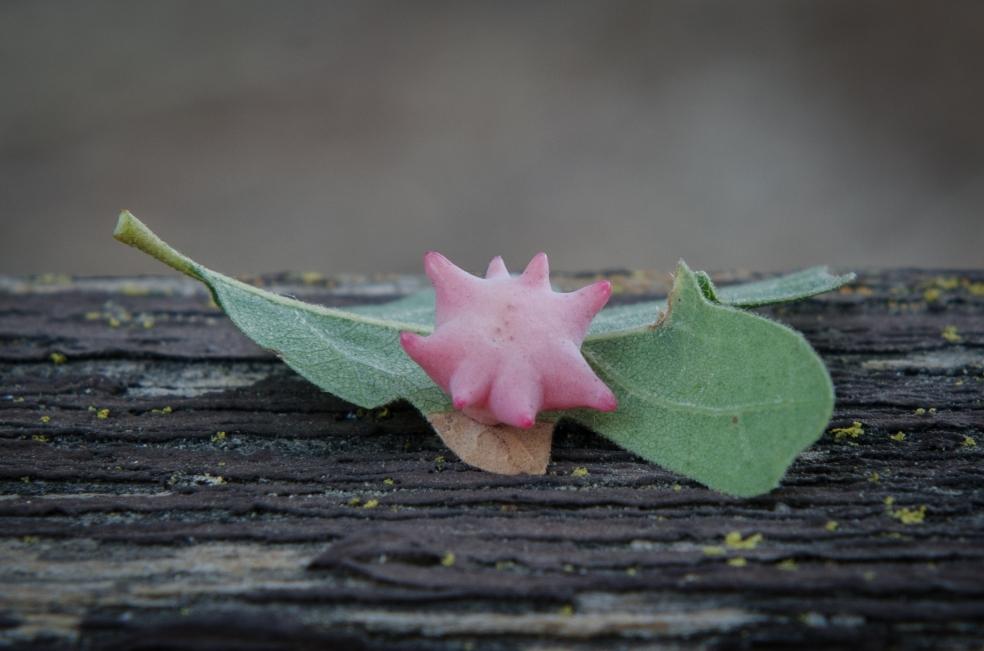 Galla detta Spined Turban Gall indotta su una quercia da una piccola vespa (Antron douglasii). Osservata a Lafayette e molto comune in California.