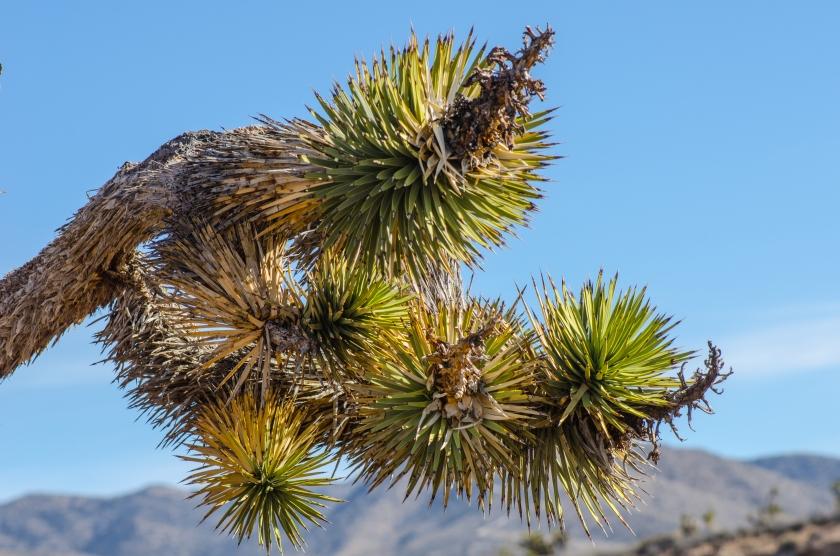 L'albero di Giosuè, o Joshua Tree (Yucca brevifolia)