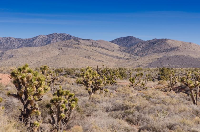 Paesaggio ricco di arbusti chiamati alberi di Giosuè