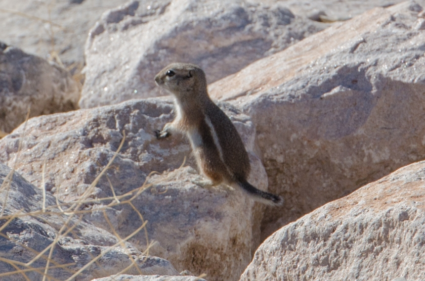Il White-tailed Antelope Squirrel (Ammospermophilus leucurus)