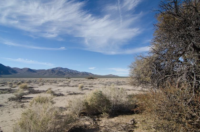 Uno dei pochi alberi che sopravvivono in questo clima: honey mesquite (Prosopis glandulosa)