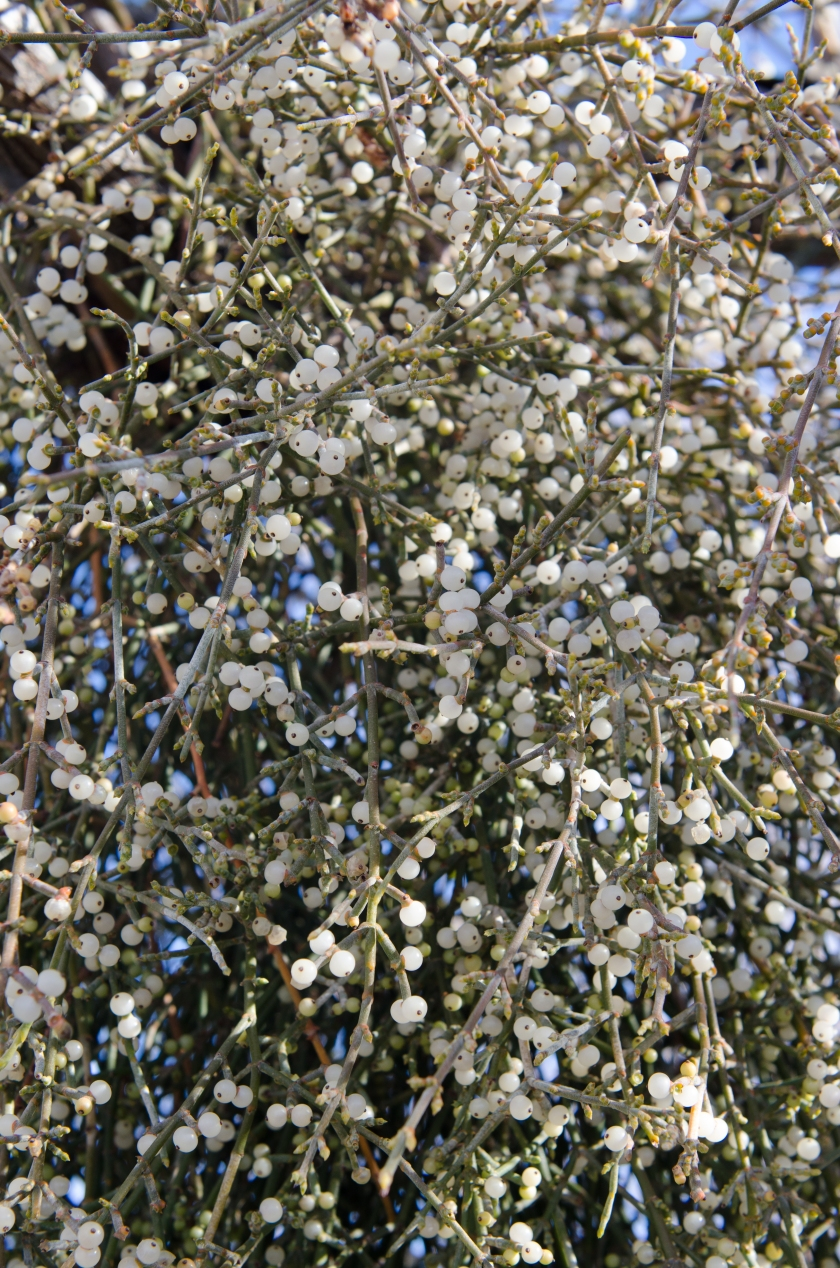 Desert Mistletoe (Phoradendron californicum)