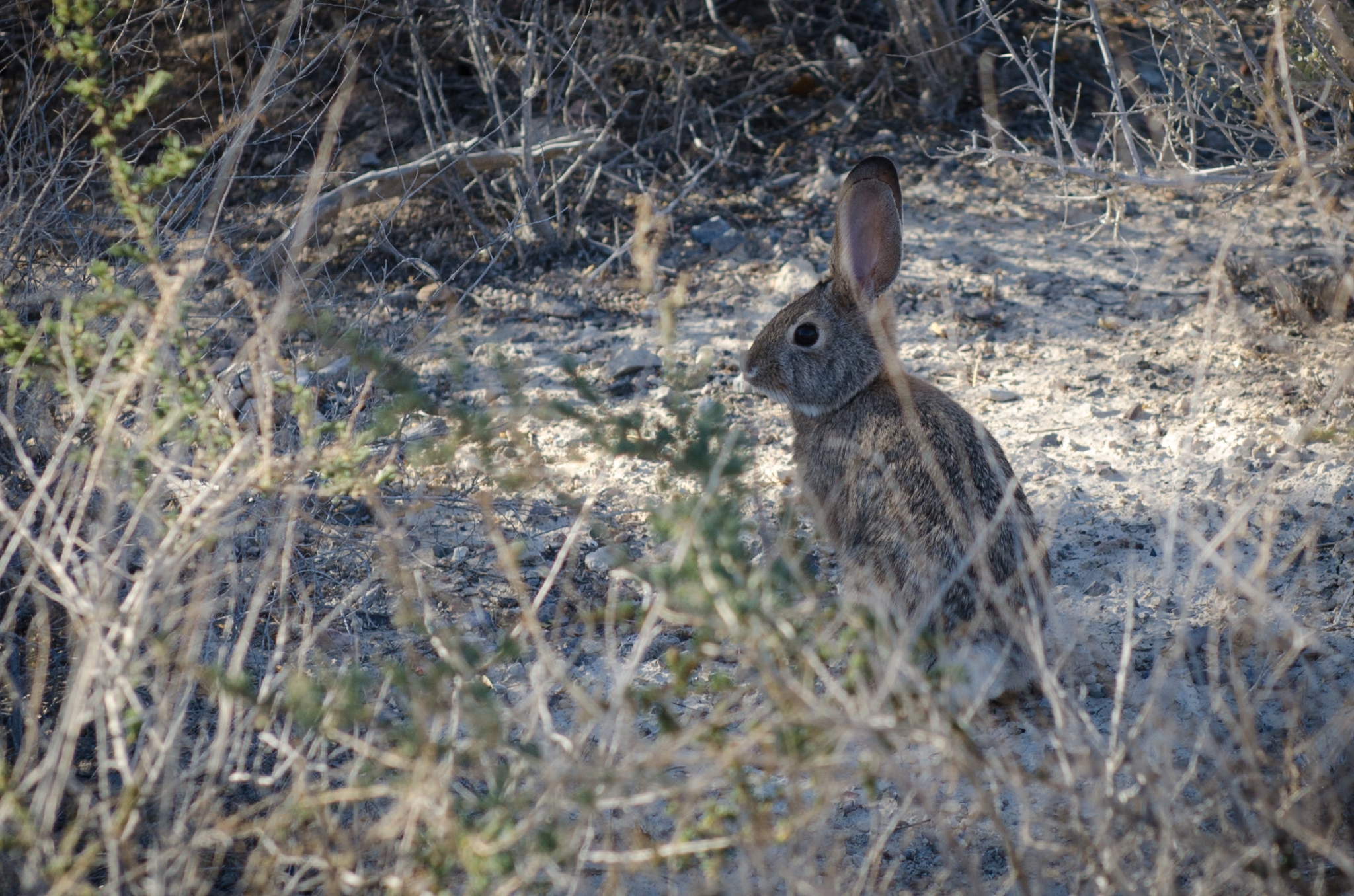 La lepre Desert Cottontail (Sylvilagus audubonii) nel parco Ash Meadows National Wildlife Refuge