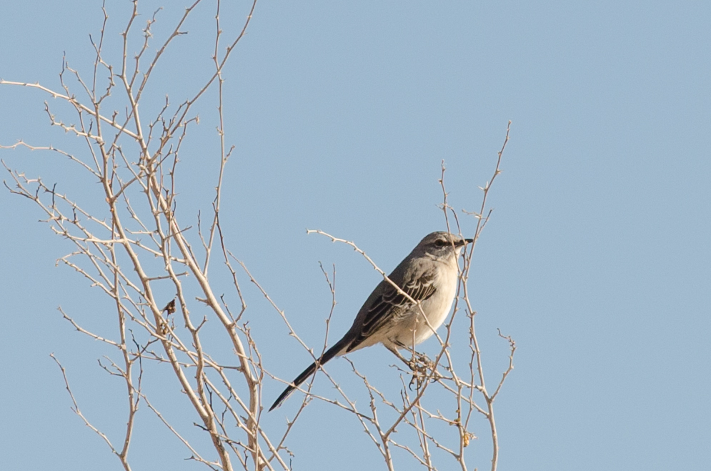 Northern Mockingbird (Mimus polyglottos) nel parco Ash Meadows National Wildlife Refuge
