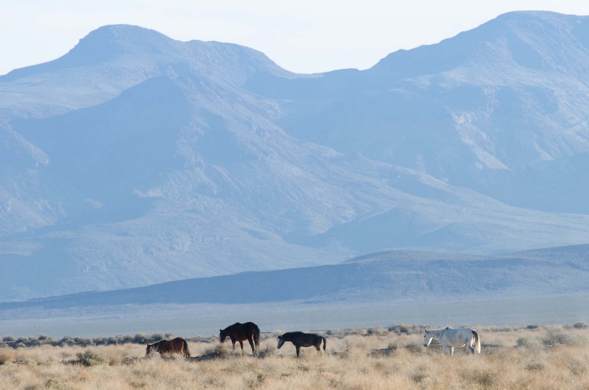 Cavalli bradi nel deserto