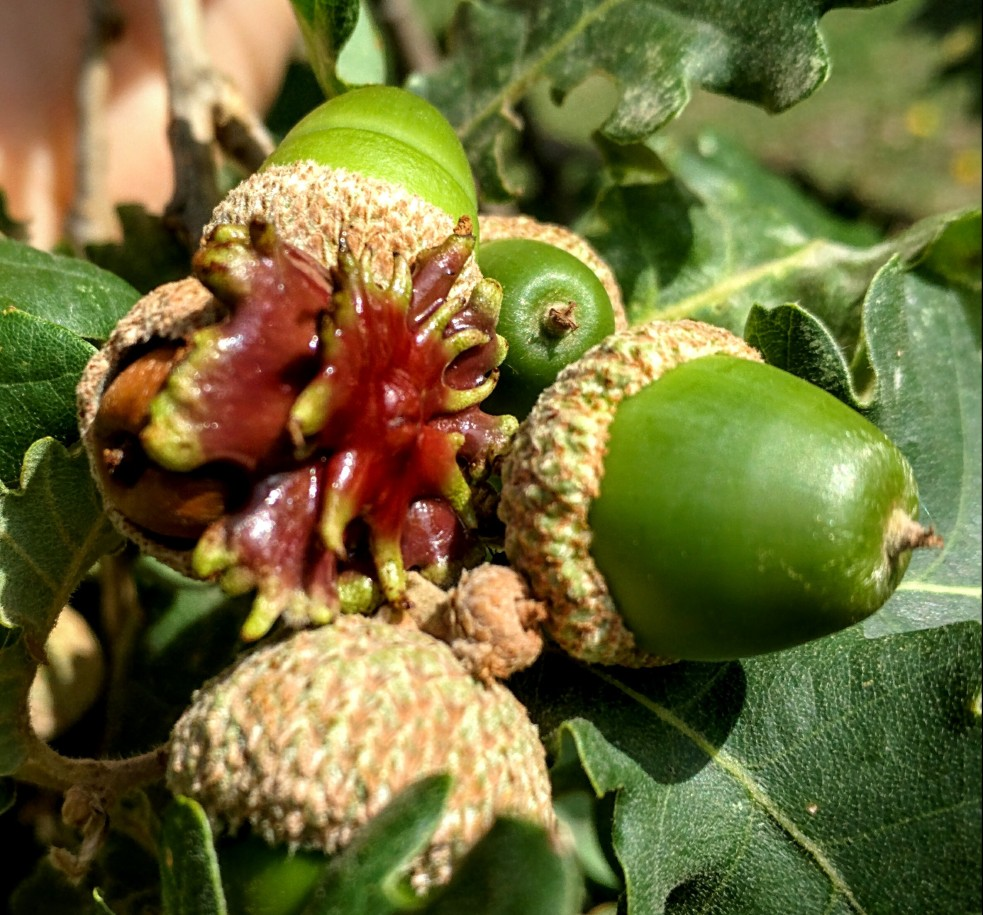 Galle di quercia indotte da una piccola vespa (Andricus dentimitratus), osservate in Toscana.