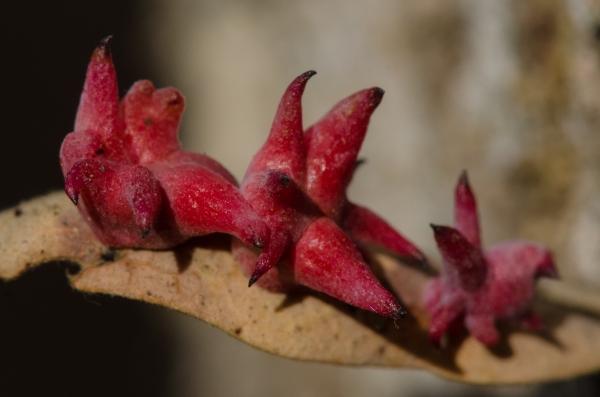 Urchin Gall Wasp (Antron quercusechinus)