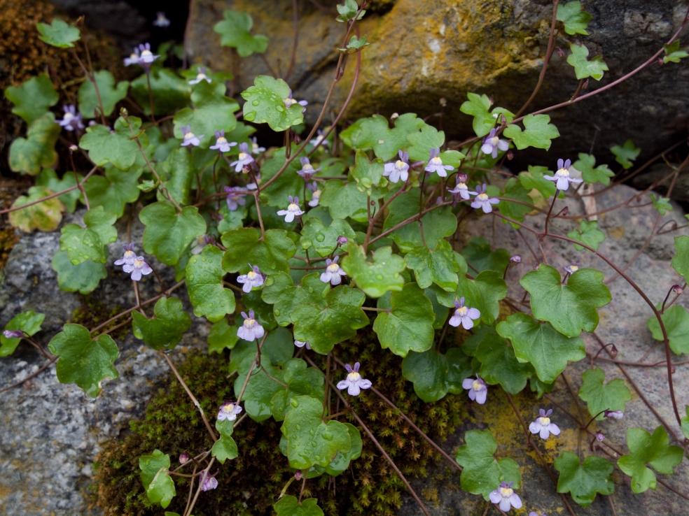 Ivy-leaved Toadflax (Cymbalaria muralis)