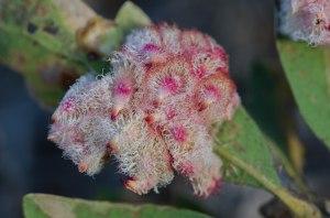 Spettacolare galla cristallina indotta su quercia da una piccola vespa (Andricus crystallinus), comune in California