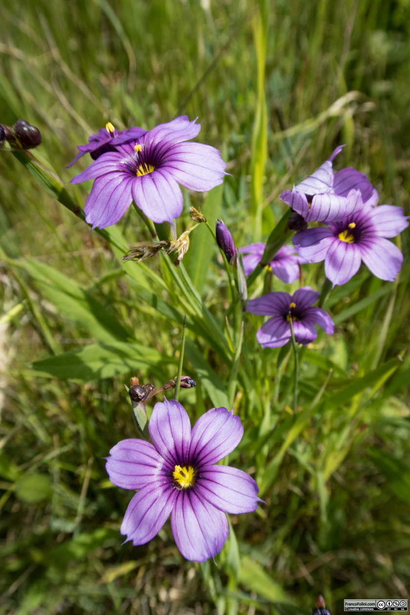 Californian Blue-eyed Grass (Sisyrinchium bellum) Marin Headlands, CA