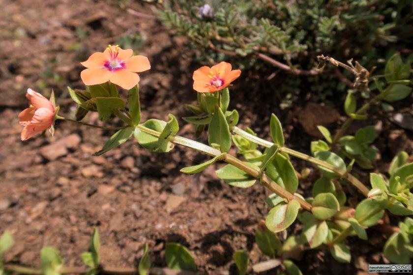 Scarlet pimpernel (Anagallis arvensis) Marin Headlands, CA