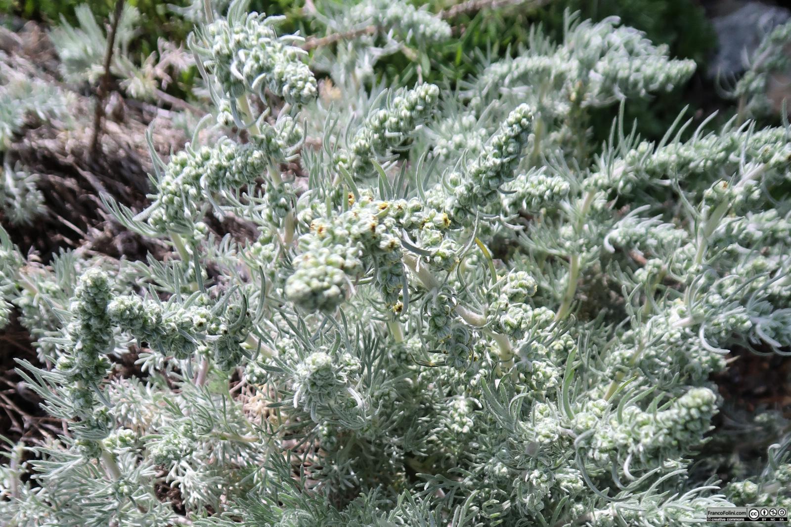 Beach Wormwood (Artemisia pycnocephala) Marin Headlands, CA