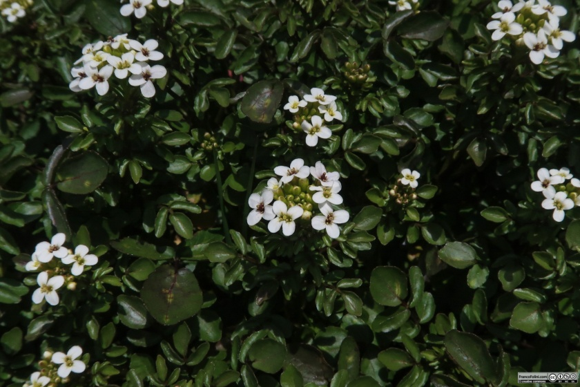 Watercress (Nasturtium officinale) Marin Headlands, CA