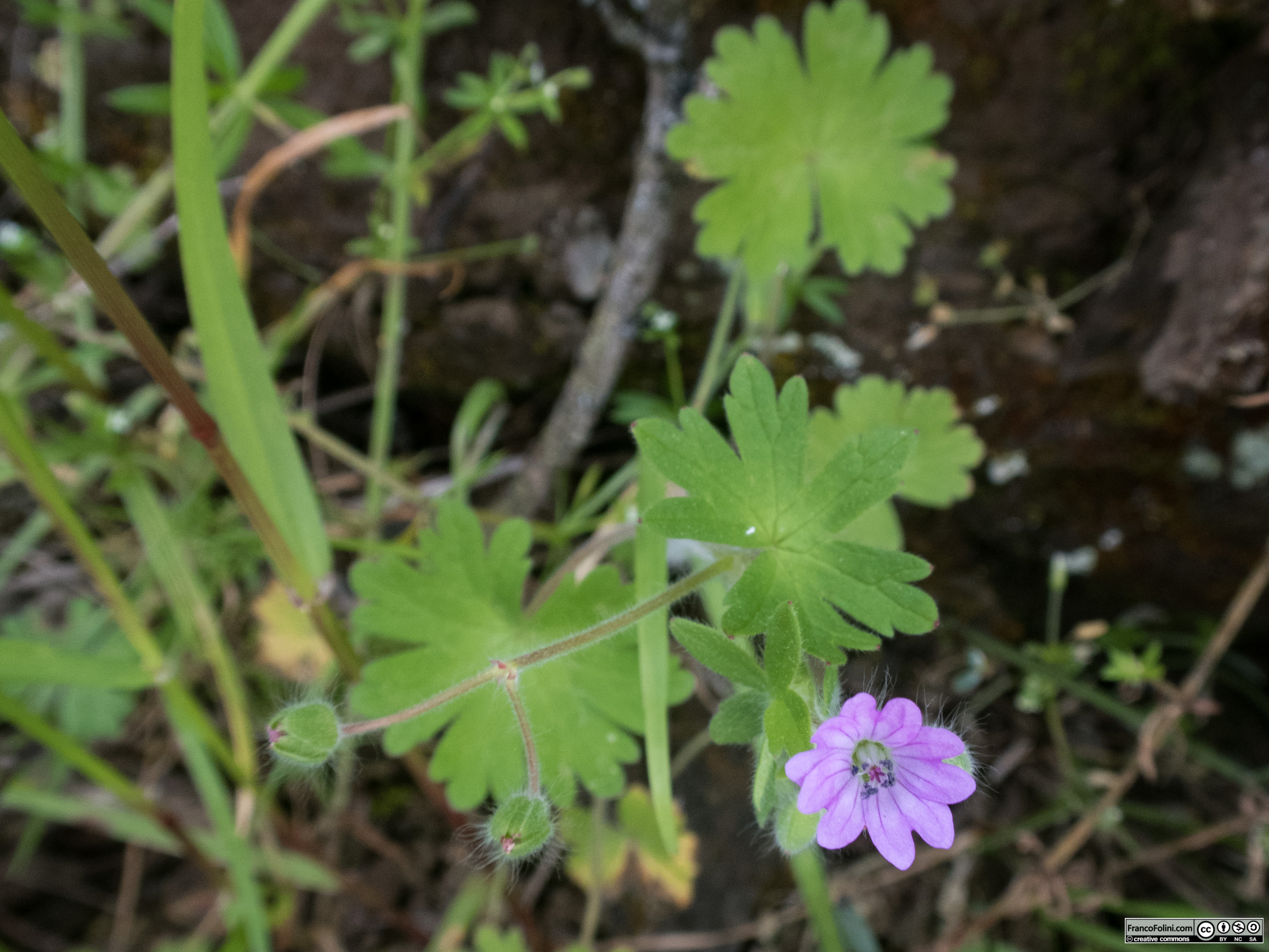 Dove's-foot crane's-bill (Geranium molle) Marin Headlands, CA
