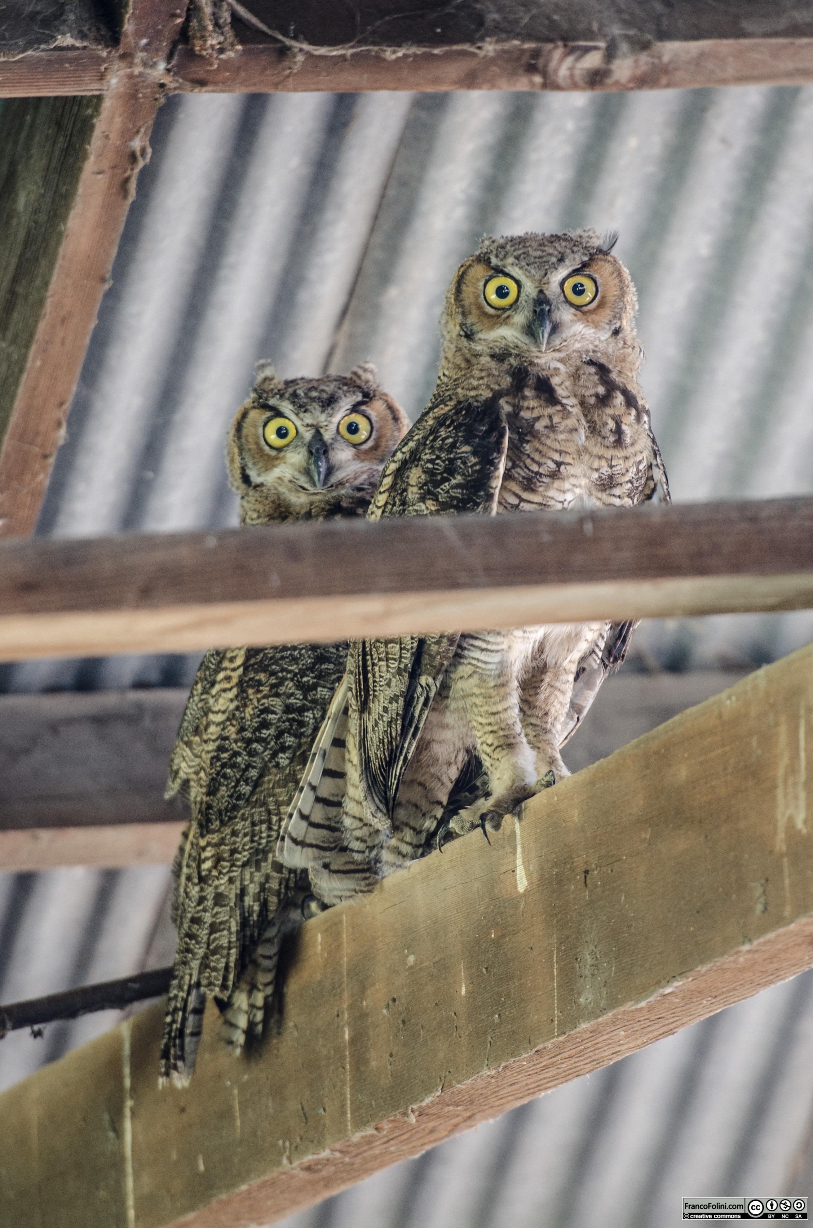 Great Horned Owl (Bubo virginianus) Sacramento Delta, CA