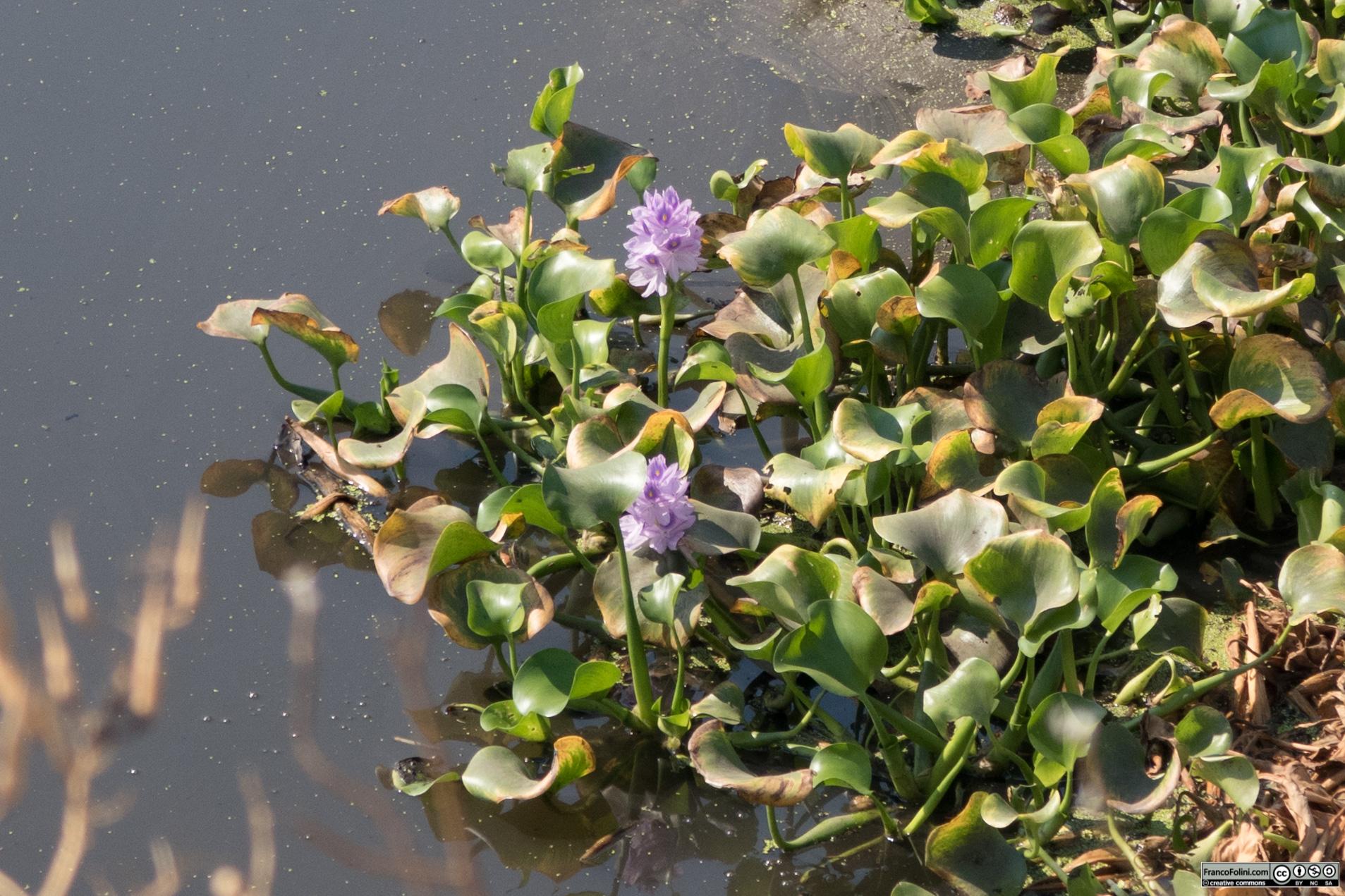 Il giacinto d'acqua (Eichhornia crassipes) è una presenza frequente nei canali dell'area di Stockton