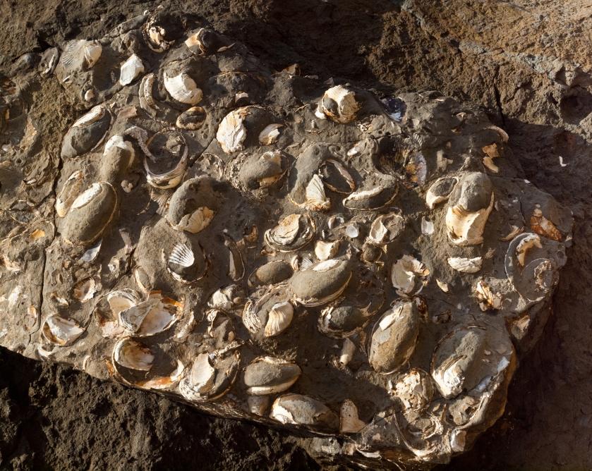 Conchiglie fossili incastonate nella roccia sedimentaria