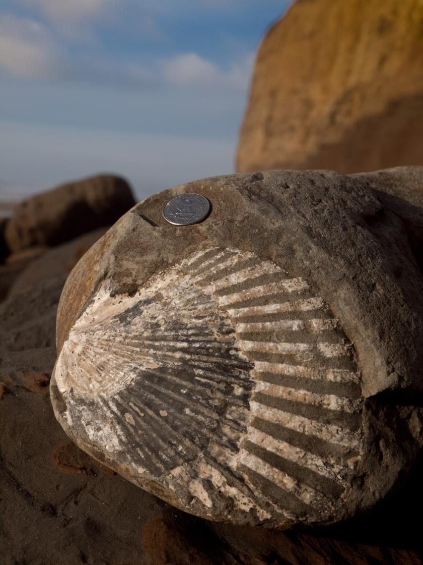 Enorme conchiglia fossile