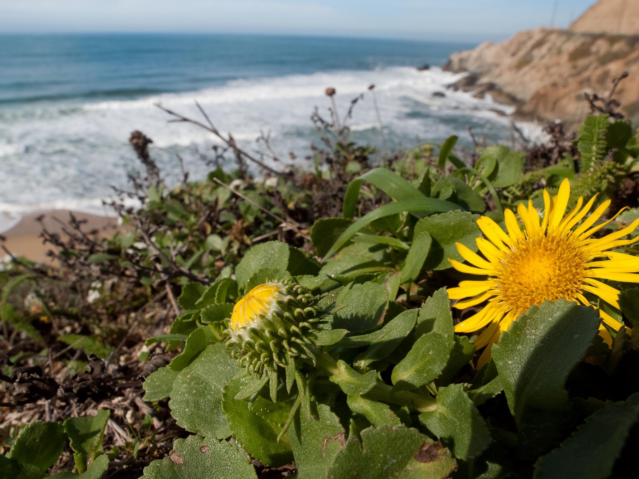 Coastal Gum Plant (Grindelia stricta var. platyphylla)
