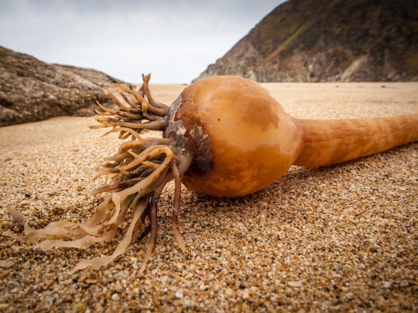 Kelp (Nereocystis luetkeana)