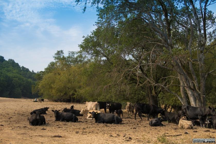 Le vacche si fermano a riposare e ruminare nel caldo della giornata estiva