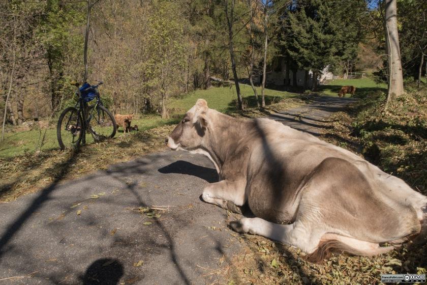 E' frequente incontrare vacche e capre al pascolo lungo la strada se non sulla strada stessa