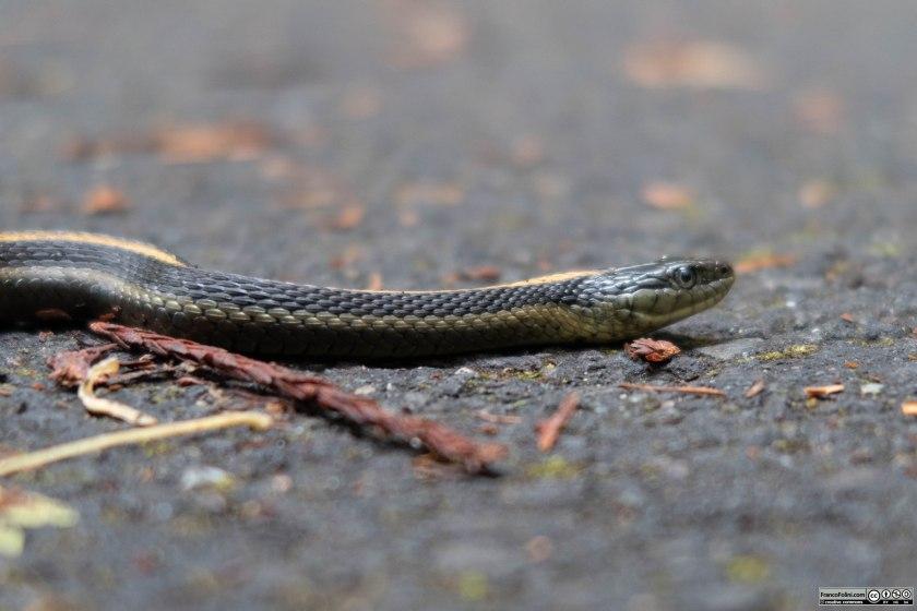 Un Garter Snake acquatico (Thamnophis atratus) attraversa la pista ciclabile nel Samuel P. Taylor State Park