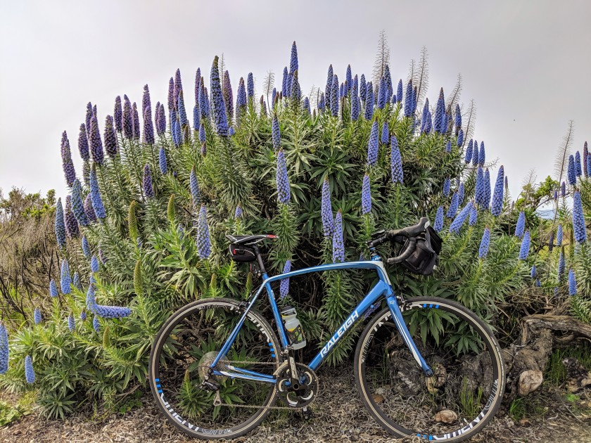 Echium candicans, aka Pride of Madeira, is also blooming