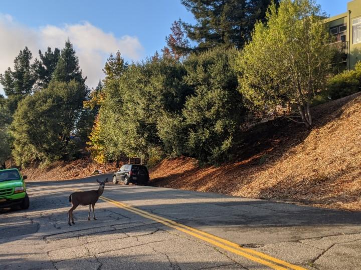 Sulle colline di Oakland California, è normale incrociare animali come cerbiatti e tacchini. Entrambi possono creare dei problemi ai ciclisti a causa della loro imprevedibilità.