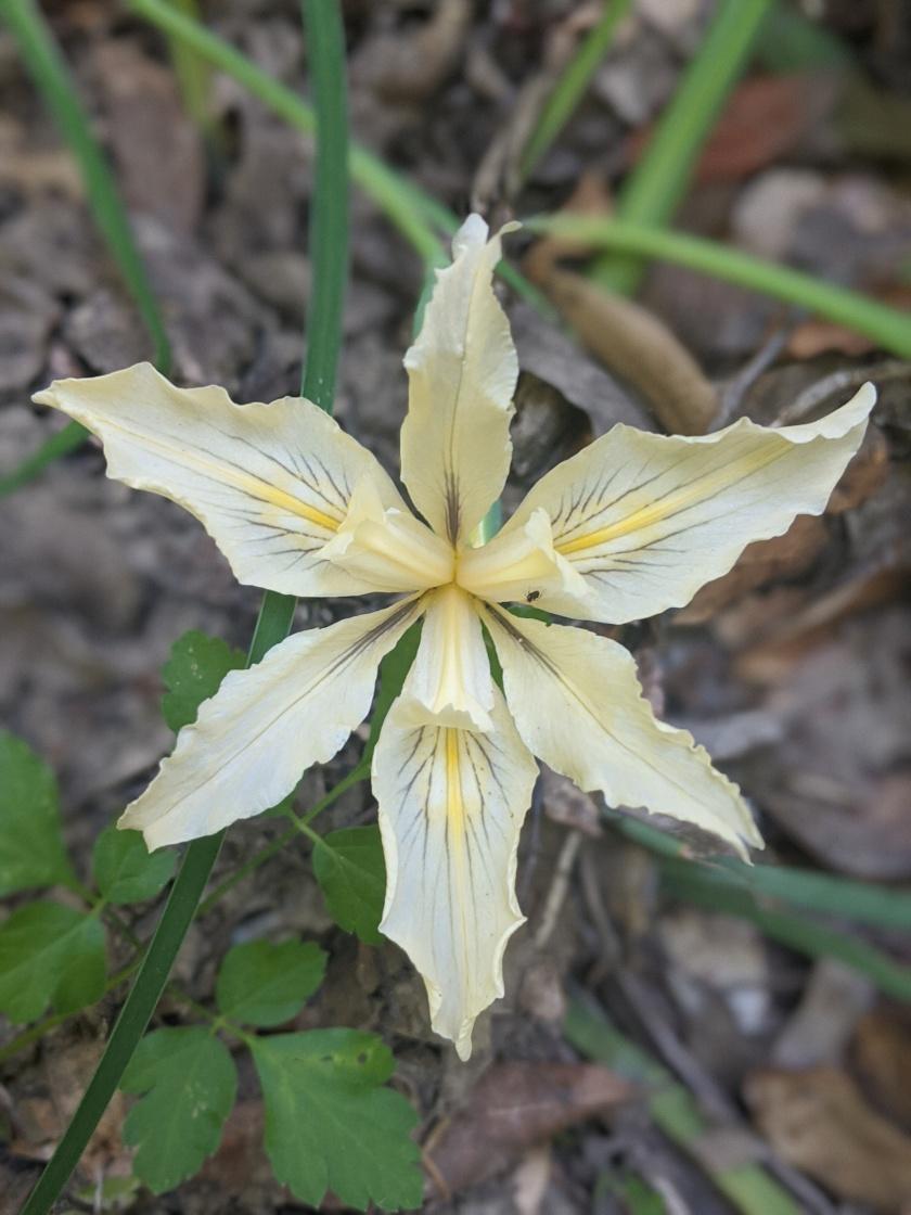 Fernald's Iris (Iris fernaldii)