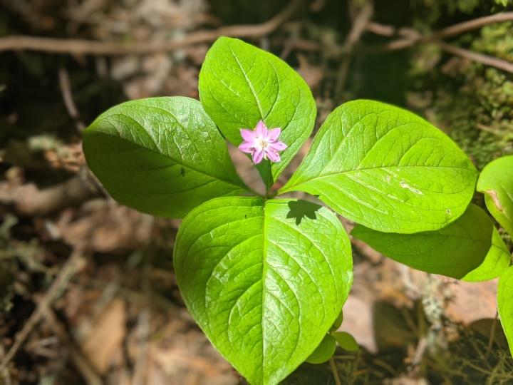 Western Star Flower (Lysimachia latifolia)