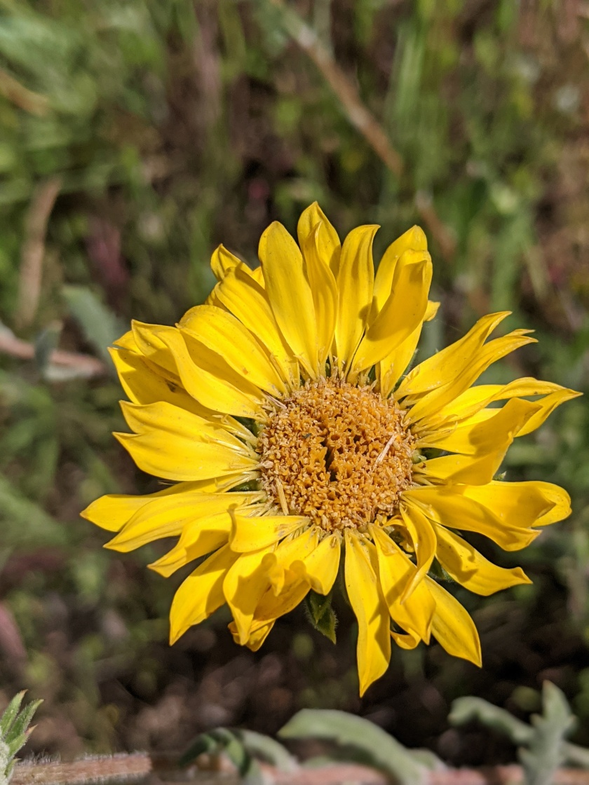 Hairy Gumweed (Grindelia hirsutula)